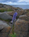 Strandveronika (Veronica longifolia)