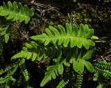 Stensöta (Polypodium vulgare)