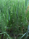 Sjöfräken (Equisetum fluviatile)