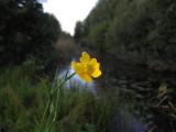 Sjöranunkel (Ranunculus lingua)