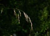 Rörsvingel (Festuca arundinacea)