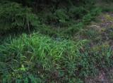 Backskafting (Brachypodium pinnatum)