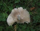 Mjölskivling (Clitopilus prunulus)
