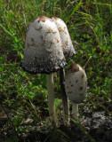 Fjällig bläcksvamp (Coprinus comatus)