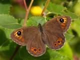 Vitgräsfjäril (Lasiommata maera), hona