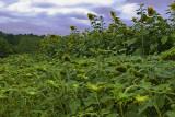 Sunflowers at Biltmore