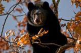 Black Bear in Shenandoah National Park, Virginia
