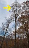 Black Bear in Oak Tree