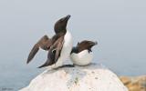 Machias Seal Island - Razorbill