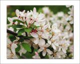 Malus floribunda blossom