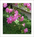 Azalea on the patio