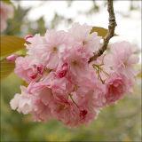 Flowering cherry blossom - Kanzan