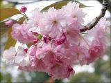 Blossom - Cherry - Kanzan