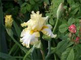 Iris amongst the roses