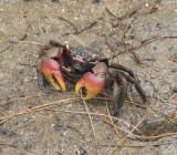 Mangrove crab at Anse Madge