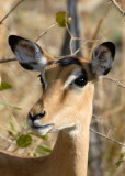 Female  Impala,  Mfuwe