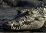 Green Eyed  Nile Crocodile, Chiawa