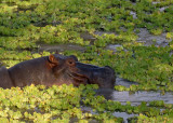 Hippos in Water Cabbage,  Mfuwe 1
