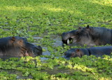Hippos in Water Cabbage,  Mfuwe 2