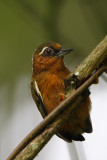 373 ::White-browed Piculet::
