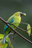 Blue-winged Leafbird (male)