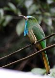 Blue-beared Bee-eater