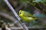 403 - Sulphur-breasted Warbler