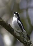 410 - Little Pied Flycatcher
