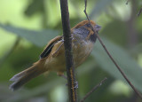 413 - Black-throated Parrotbill