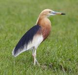 010 - Javan Pond Heron (breeding)