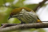 025 - Yellow-vented Flowerpecker