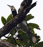 020 - Oriental Pied Hornbill (female)