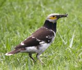 006 - Black-collared Starling (adult)