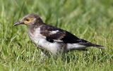 006 - Black-collared Starling (juvenile)