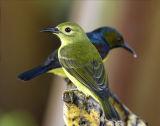 029 - Brown-throated Sunbird (female and male)