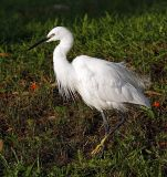 005 - Little Egret (breeding)