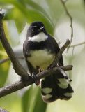 033 - Pied Fantail