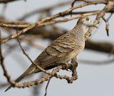 049 - Peaceful Dove (male)