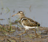 046 - Greater Painted-snipe (male)