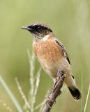 045 - Siberian Stonechat (male)