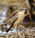045 - Siberian Stonechat (female)