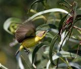 051 - Olive-backed Sunbird (female)
