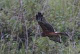 059 - Eastern Marsh Harrier   (not sharp)