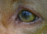 Dog's  Eye View (Vizsla)