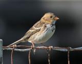 Harris's Sparrow, Richmond, November 2008