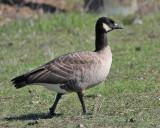possible Taverner's Cackling Goose, Palo Alto, November 2009