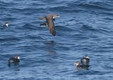 Pink-footed and Buller's Shearwaters