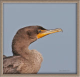 Cormorant,Double-crested