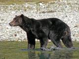 Grizzly Bear 3a.jpg