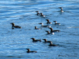 Common Murres 1a.jpg
